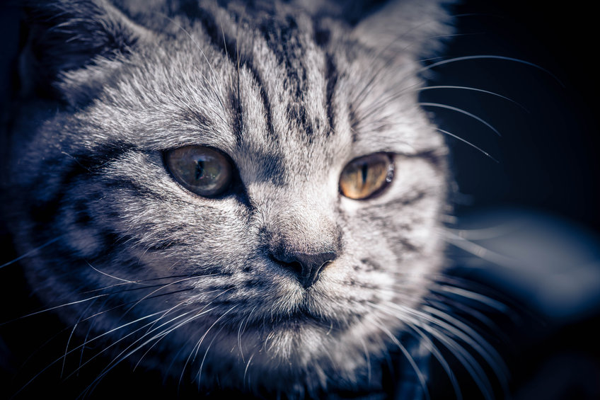 A gray British short-haired cat with a dreamlike gaze.